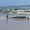 澳大利亚海滩数百头鲸鱼搁浅 事件仍属罕见