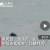 南京江面10余只江豚顶风起舞  十分可爱